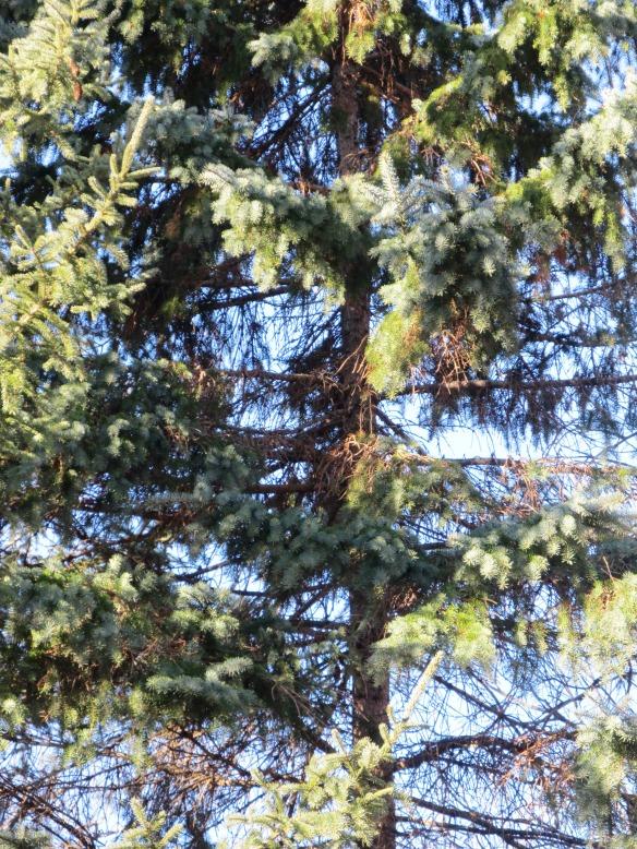 pine trees 2