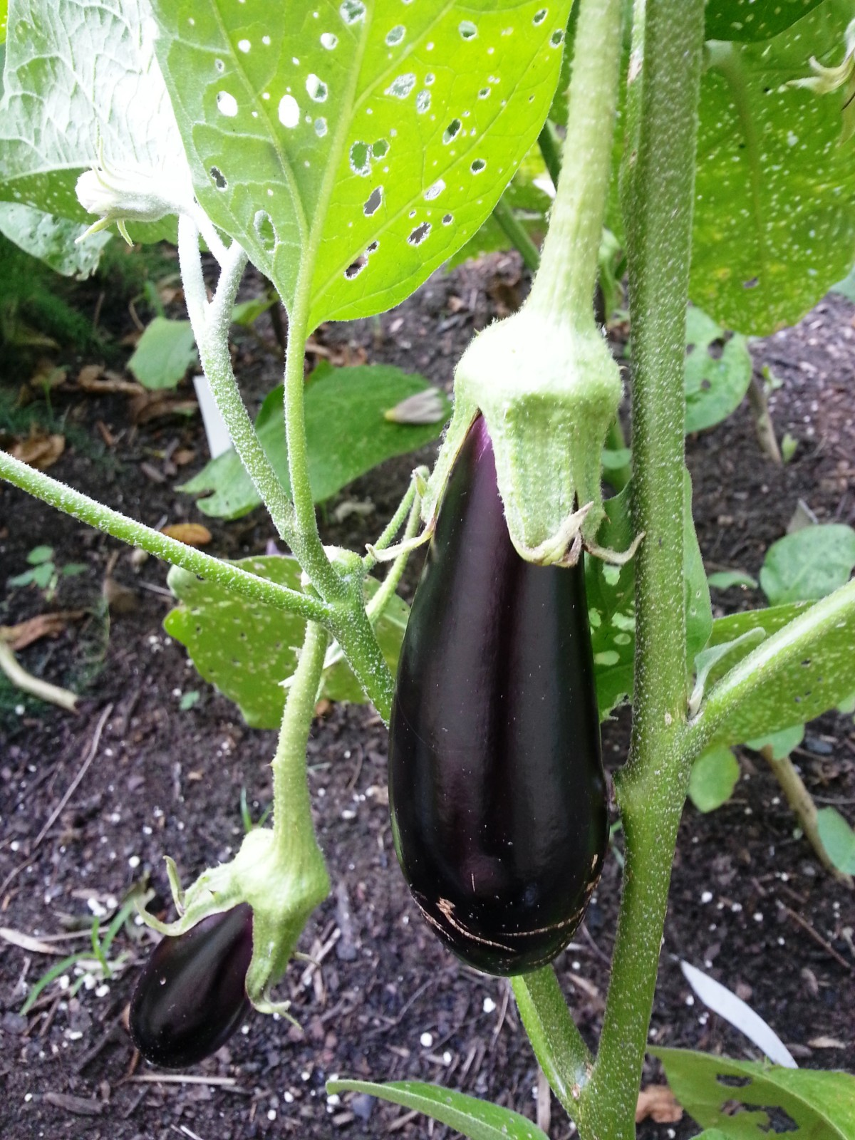 2014 eggplant