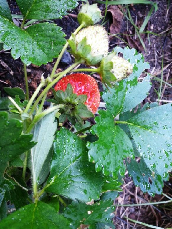 2014 strawberries